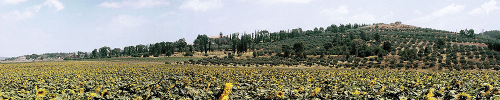 0039 Latrun with Sunflowers