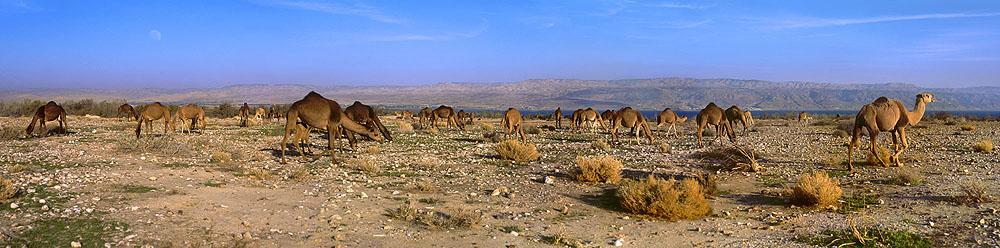 0060 Camels at Dead Sea
