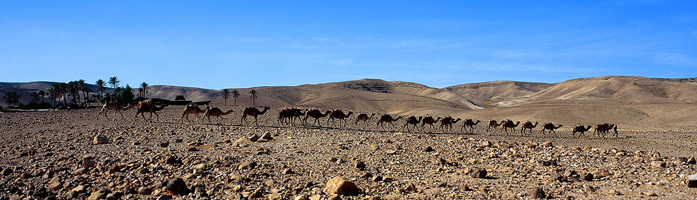 0065 Camel Oasis