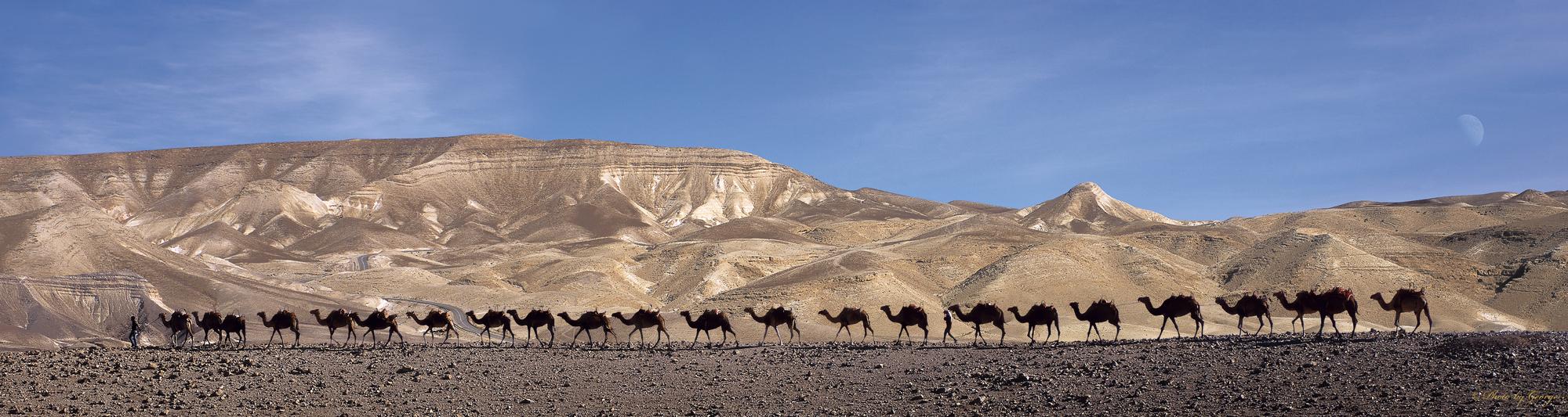 0014 Camels